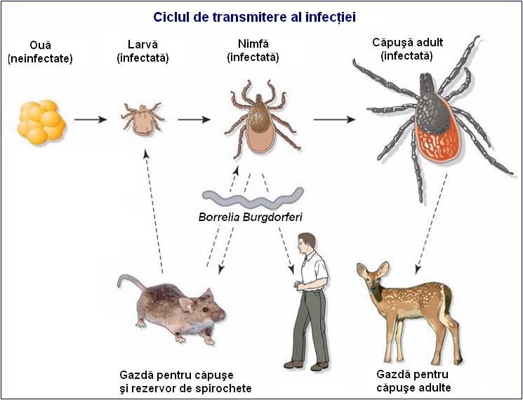 Cum recunoastem boala Lyme. Cauze, simptome, tratament | Medlife